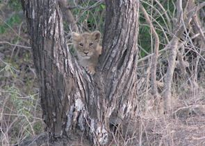 A cub in caught in a playful mood at Gir
