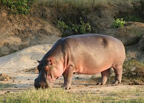 Hippo grazing by the Kazinga Channel