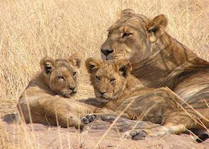 Lion in the Central Kalahari, Botswana