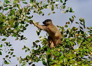 Brown lemur, Anjajavy Private Nature Reserve