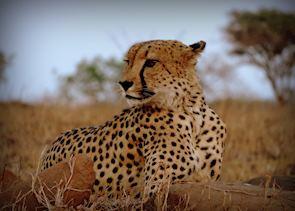 Cheetah - Leopard Mountain Game Lodge