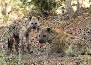 Spotted hyena on Chief's Island
