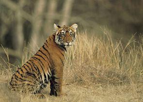 Tiger cup, Kanha National Park