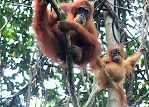 Mother and baby Orangutan near the Ecolodge, Bukit Lawang