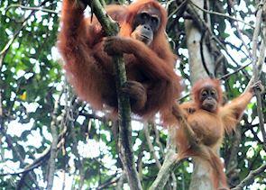 Mother and baby Orangutan near the Ecolodge, Bukit Lawang