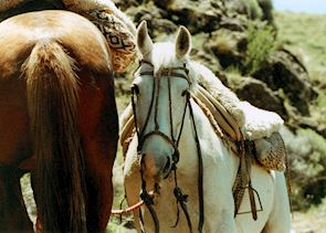 Argentinean horses
