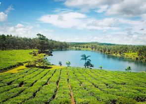 Tea fields, Mauritius