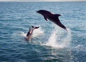 Dolphins in the bay, Whakatane