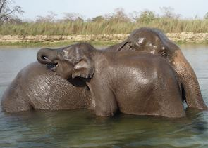 Elephant bathing, Tiger Tops Lodge, Chitwan National Park