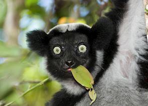 Indri, Andasibe-Mantadia National Park, Madagascar