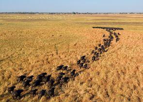 Buffalo on the Busanga plains, Kafue National Park