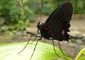 Butterfly Masphi Lodge Cloud Forest Ecuador