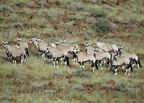 Herd of oryx, Namibia