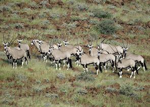 Herd of oryx, Namibia