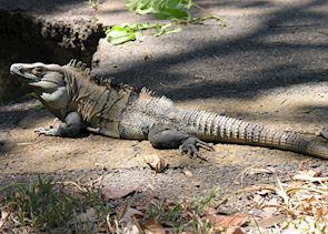 Iguana, Puerto Viejo de Sarapiqui