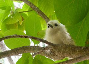 Fairy tern chick on Denis Island