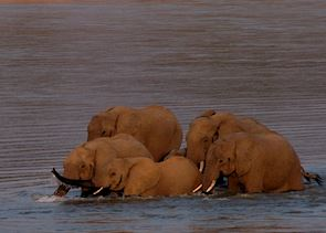 Elephant in the Luangwa River