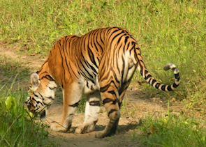 Bengal Tiger, Bandhavgarh National Park
