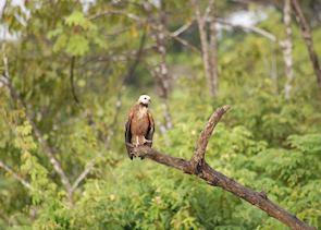 Hawk in the Amazon, Peru
