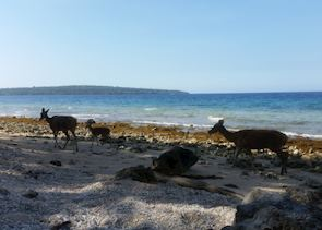 Deer on the beach at Nusa Bay Menjangan