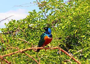 Superb Starling, Tarangire National Park, Tanzania