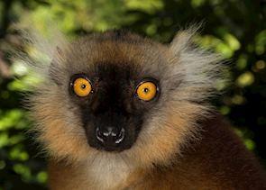 Female black lemur, Nosy Komba, Madagascar