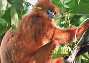 Red leaf monkey, Danum valley, Malaysian Borneo