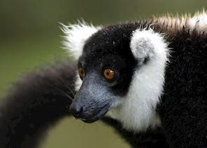 Black and white ruffed lemur, Madagascar