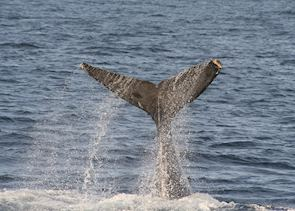 Gray Whale, Baja California