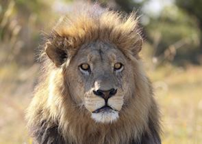 The Okavango Delta is home to many lion prides