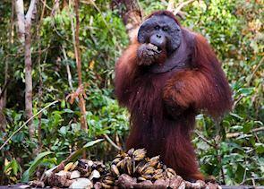 Orang-utan at Sepilok Orang-utan Sanctuary, Sandakan, Malaysian Borneo