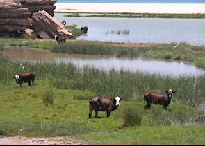 Cows in a lagoon near Samhuram