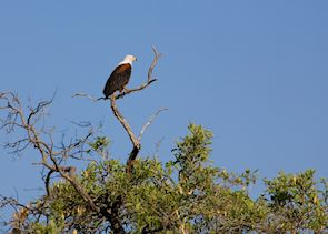 Fish Eagle, Popa Falls