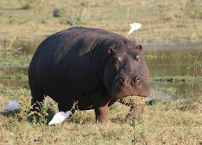 Hippo grazing, Kwando Concession, Botswana