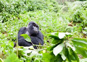 Alpha Silverback, Volcanoes National Park, Rwanda