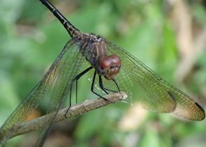 Dragonfly, Belize