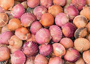 Shells, Honfleur