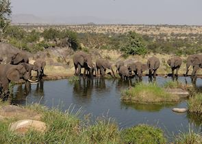 Elephants drinking, Serengeti