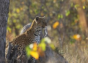 Moremi Wildlife Reserve is home to a good population of leopard