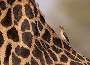 Red billed oxpecker on Thornicroft's giraffe