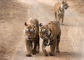 Tiger and her cubs, Ranthambhore National Park