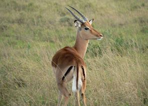 Impala in Shamwari