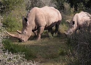 Rhino, Eastern Cape