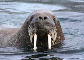 An inquisitive walrus, Svalbard