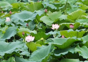 Lotus blossoms in Ky Son