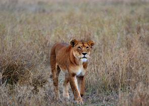 Lioness, Serengeti