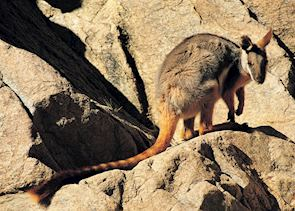 Rock Wallaby, Flinders Ranges
