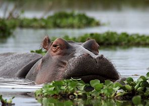 Hippo in Lake Naivasha