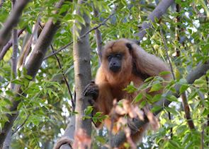 Howler monkey at Puerto Valle