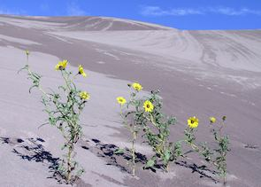 Flowers in Great Sand Dunes National Park, near Alamosa